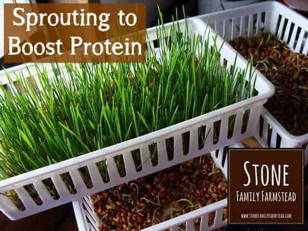 Sprouting to Boost Protein - Stone Family Farmstead