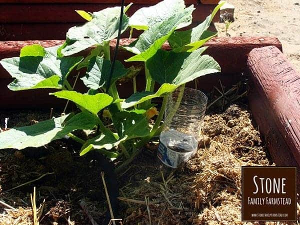 drip waterers are great for squash plants - Stone Family Farmstead