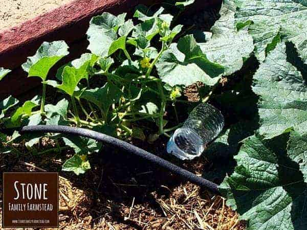 drip waterers made from plastic water bottles - Stone Family Farmstead