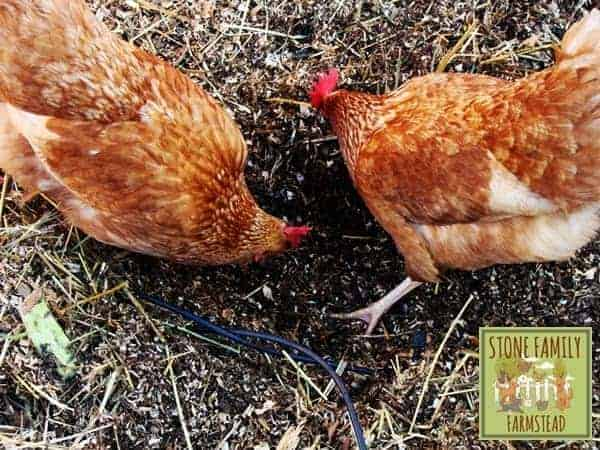 Lucy and Ethel doing the composting - Stone Family Farmstead