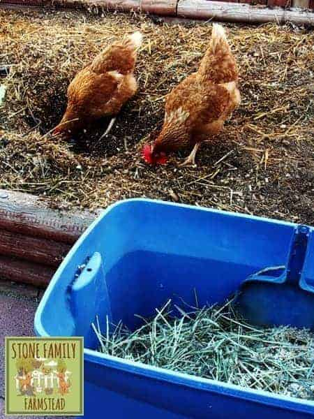 working chickens - Stone Family Farmstead