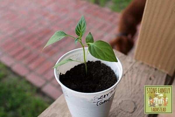 Serrano Tampequeno Seedling - Stone Family Farmstead