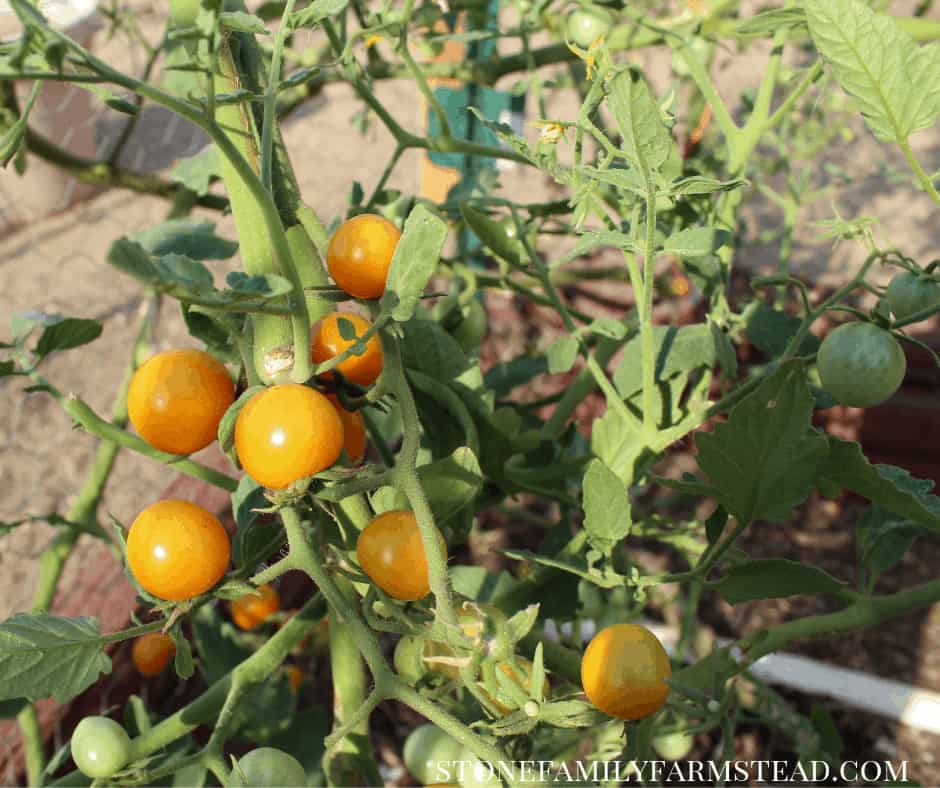 Ripening tomatoes on a tomato vine - Pruning Tomato Plants - Stone Family Farmstead