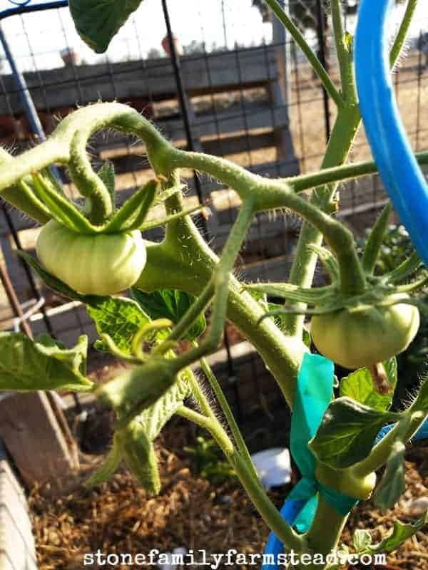 tomato-growing-tips