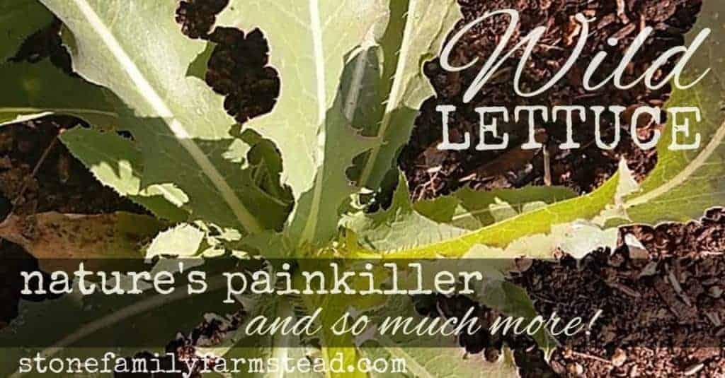 wild lettuce rosette