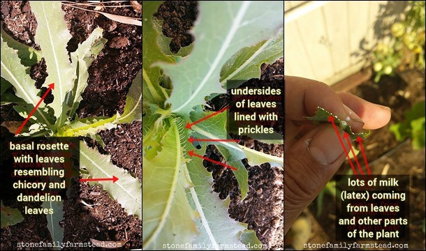 pictures of wild lettuce pointing out difference characteristics of the plant