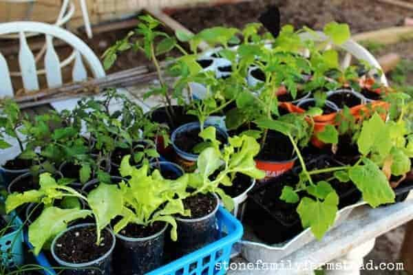 Seedlings hardening off - How to Start a Vegetable Garden: 25 Easy Steps from Scratch to Harvest - Stone Family Farmstead