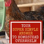 "chicken with the title ""Your Super Simple Answer to Homestead Overwhelm"""