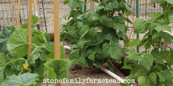 Rattlesnake Pole Bean Plants - What to Plant in Winter for Your Spring Garden
