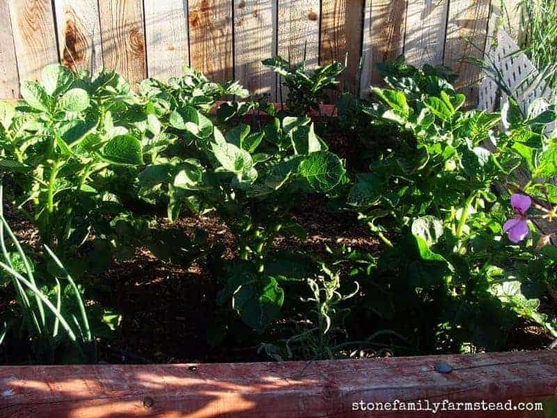 beautiful green lush veggie garden - easy vegetable gardening