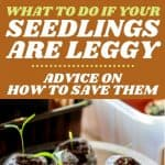 What to Do About Leggy Seedlings - Stone Family Farmstead