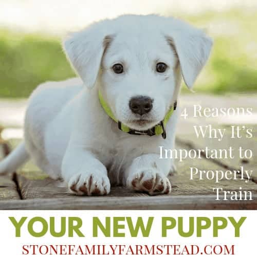 "white puppy laying down with the title ""4 Reasons Why It's Important to Properly Train Your New Puppy"""