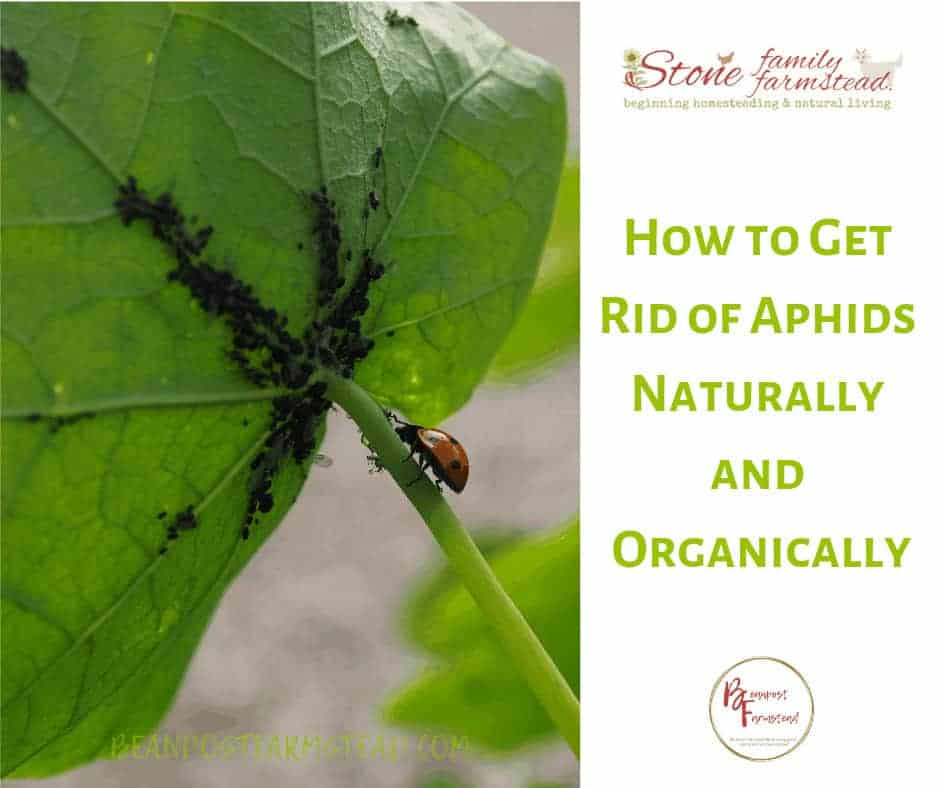 """aphids on the back of a leaf with the title """"How to Get Rid of Aphids Naturally and Organically"""""""