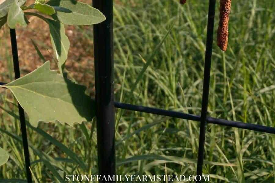 Tall grassed taking over a raised bed garden - How to Prevent Weeds in the Garden - Stone Family Farmstead