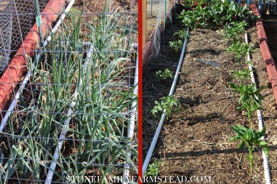 two examples of PVC irrigation system in raised bed gardens - How to Prevent Weeds in the Garden - Stone Family Farmstead