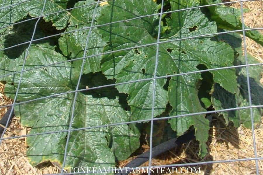 squash plant growing in a mulched raised bed - How to Prevent Weeds in the Garden - Stone Family Farmstead
