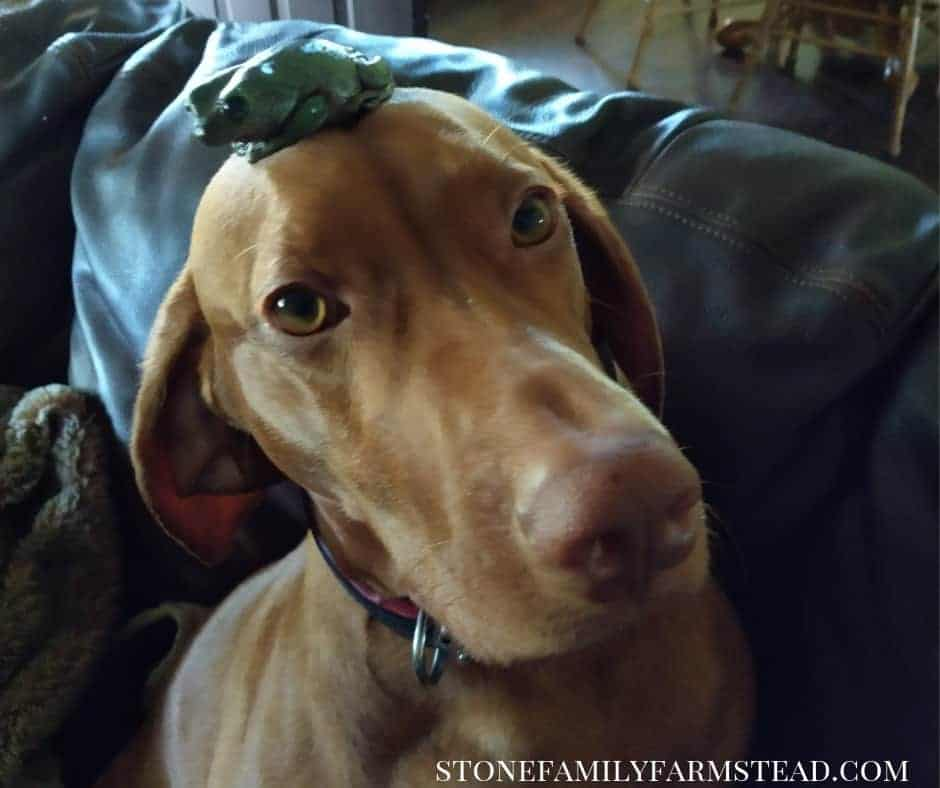 Our dog Bella with Edamame, our dumpy frog on her head - The Hard Truth About Raising a Puppy - Stone Family Farmstead