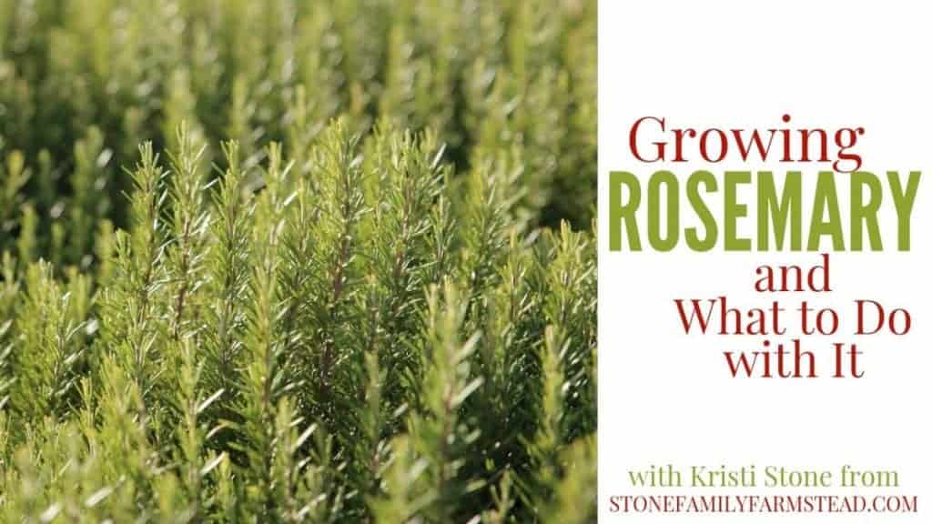 """Rosemary plant with the title """"Growing Rosemary and What to Do With It - Stone Family Farmstead"""""""