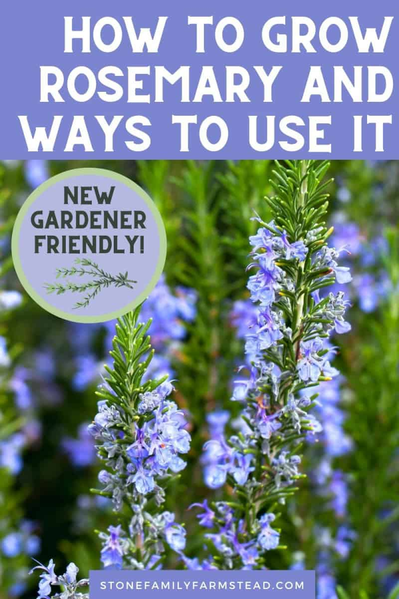 How to Grow Rosemary and Ways to Use It - Stone Family Farmstead