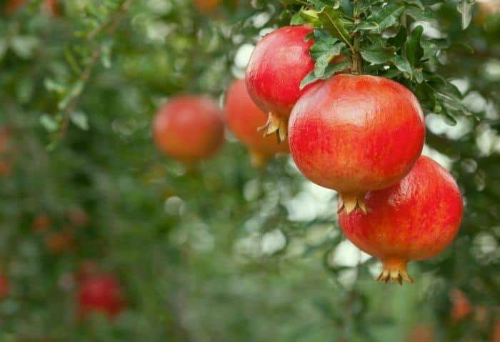 How to Have an Awesome Pomegranate Season - Stone Family Farmstead