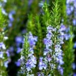 How to Grow Rosemary and All the Ways You Can Use It - Stone Family Farmstead