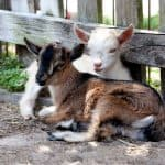 How to Encourage Friendliness and Trust in Baby Goat Kids - Stone Family Farmstead